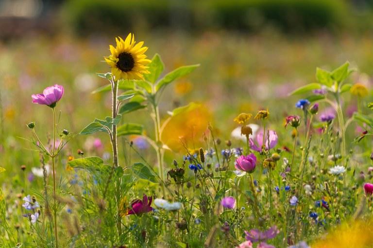 Květinové louky budou i na dalších místech Poruby
